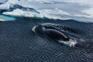 Zwergwal in der Antarktis
