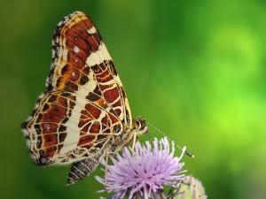 European Map Butterfly
